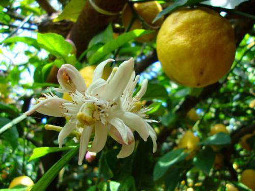 fiore_limone_zagare