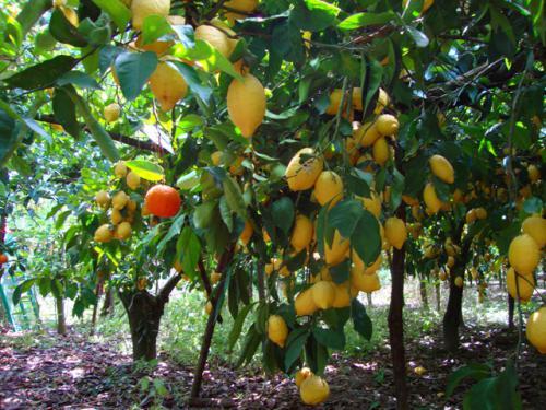 grappolo_limoni