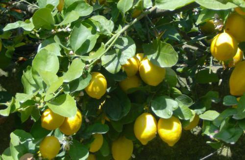 limoni5