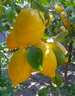 limoni7